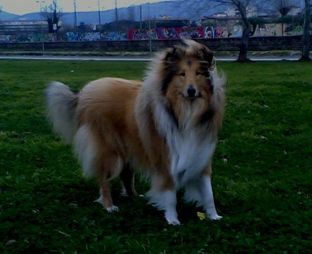 CORALL DI PARADISE COLLIES